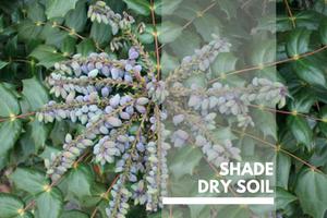 Shade Dry Soil