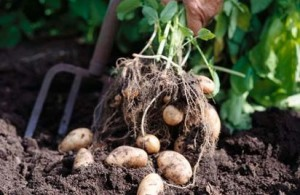 potatoes-lg_A2