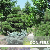 Conifers Block Plants page