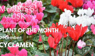 Plant of the Month December – Cyclamen