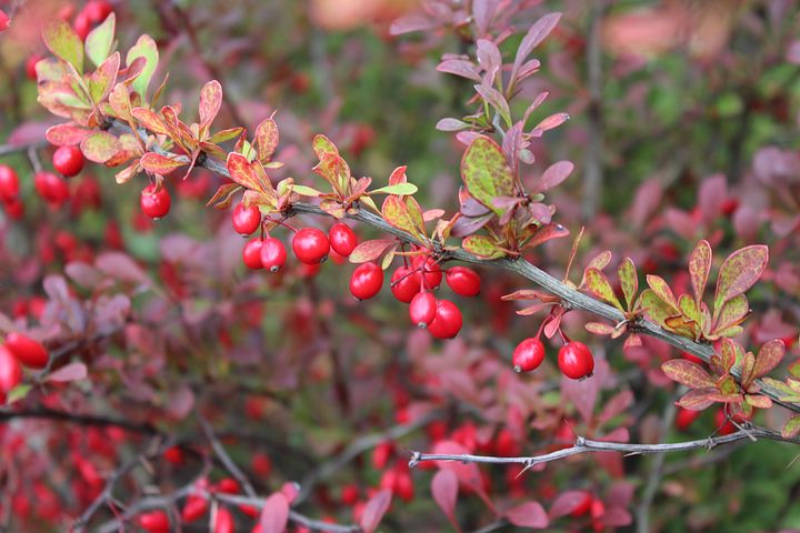 barberry-2824475__480