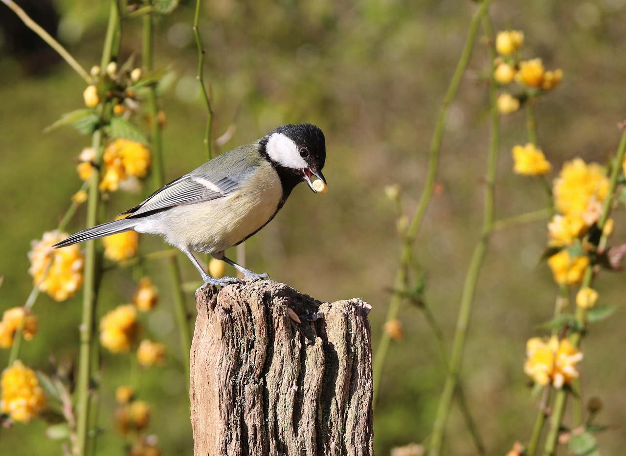 great-tit-1339985_1280