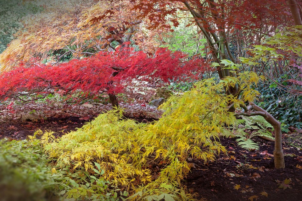 japanese-maple-512945_960_720