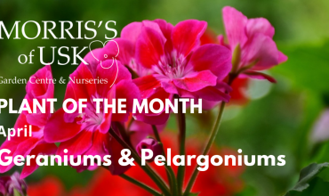 Plant of the Month April – Geranium/ Pelargonium