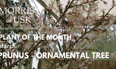 Plant of the month March – Prunus