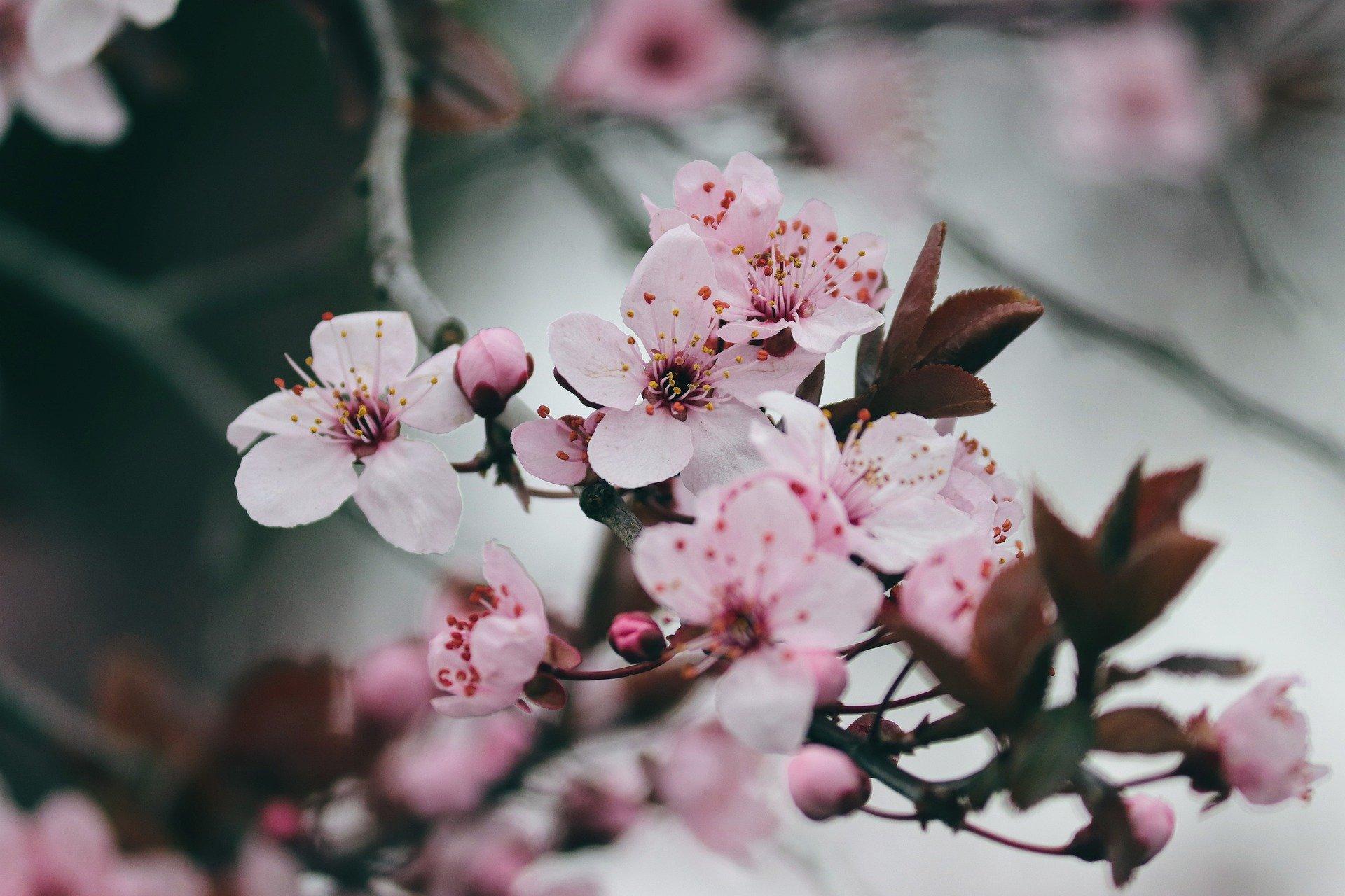 flowering-cherry-4806091_1920